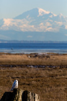 Snowy Owls At Boundary Bay-0202