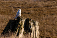 Snowy Owls At Boundary Bay-0197