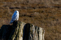 Snowy Owls At Boundary Bay-0204 copy
