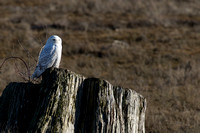 Snowy Owls At Boundary Bay-0204