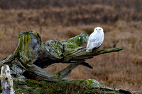 Snowy-Owls-January-25-2011-6031 copy