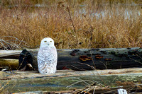 Snowy-Owls-January-25-2011-6127 copy