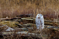 Snowy-Owls-January-25-2011-6081 copy