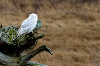 Snowy-Owls-January-25-2011-6046 copy