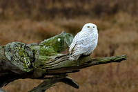 Snowy-Owls-January-25-2011-6011 copy