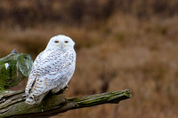 Snowy-Owls-January-25-2011-6017 copy
